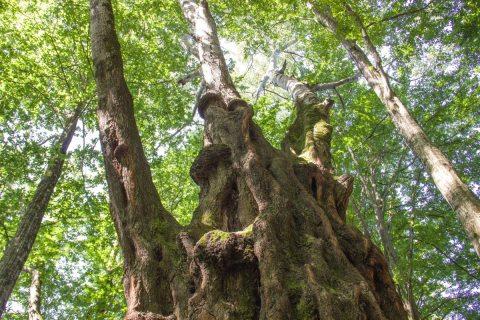 В Сочи измерили самый большой и самый древний тополь в мире